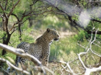 Tuningi Leopard Sighting
