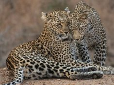Ulusaba-Wildlife-3