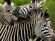 Ulusaba-Wildlife