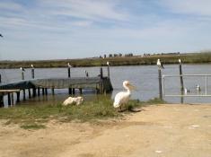 pelican-birds-at-velddrif