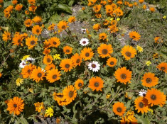spring-flowers-at-postberg-west-coast-national-park