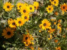 west-coast-national-park-spring-flowers