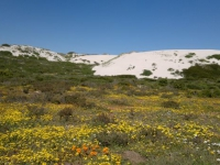 west-coast-national-park-flowers