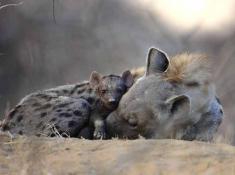 motswari-hyena