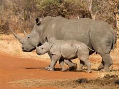 tuningi-rhino