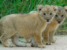 ulusaba-cubs