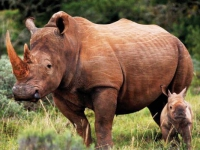 safari-lodge-rhino-calf