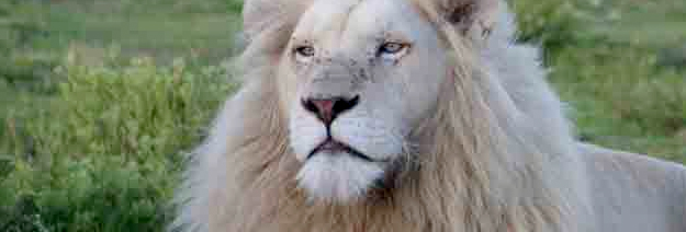 Pumba: Known for Luxurious Safaris and White Lion Rehab Project