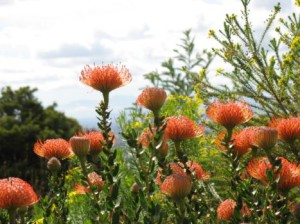 Exclusive Getaways Pincushions at Kirstenbosch