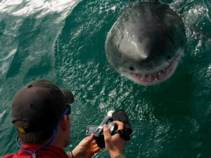 Grootbos Great White Shark Close to boat
