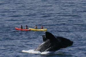 The Marine Whale in Walker Bay
