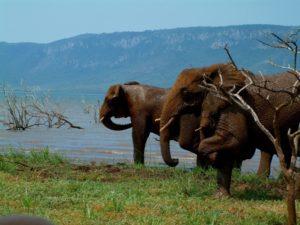white elephant safari lodge pongola safari tiger fishing holiday