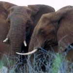 White Elephant Lodge Elephants