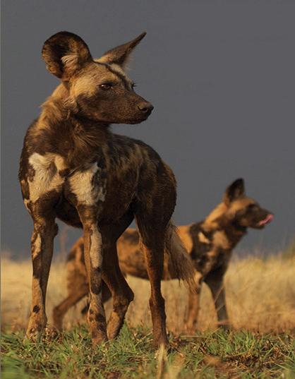 Madikwe Photographic Safari: Your Chance to Catch the Beautiful Wild Dog on Camera