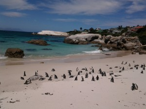 Penguins on a protected beach at Boulders, Cape Town