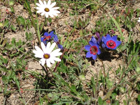 Wild about Flowers: The Flower-Strewn Veld at Darling & the Bokbaaivygie Trail at Yzerfontein