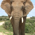 Woodall Elephant