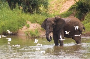 The Outpost Elephant in River