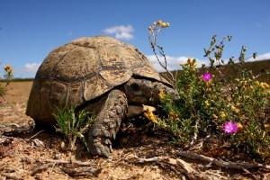 Sanbona Tortoise