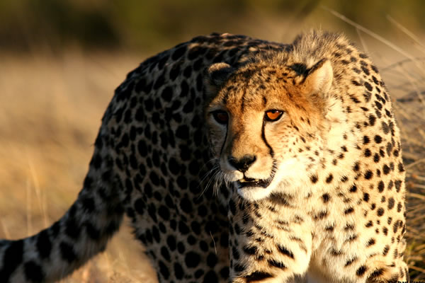 A Legend of a Cheetah: Samara's Sibella Success Story