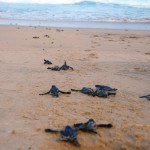 Thonga Turtles Emerging