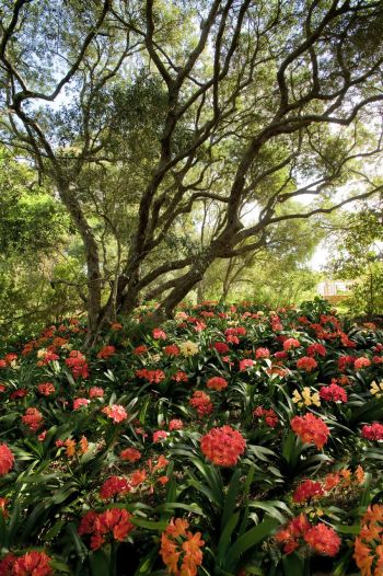 The phenomenal clivia garden at Babylonstoren