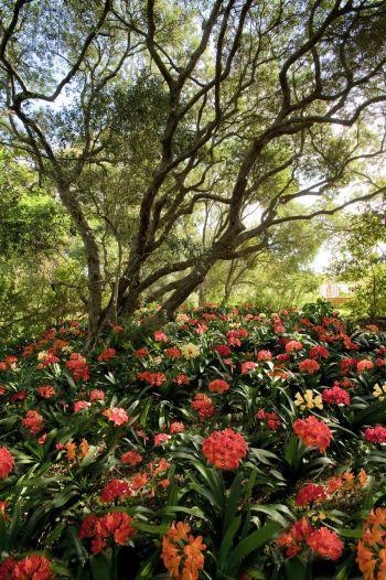 The phenomenal clivia garden at Babylonstoren