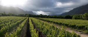 The lush vineyards of Lanzerac in Stellenbosch where Lanzerac Hotel & Spa offers outstanding accommodation in the heart of the Cape's Wine Route