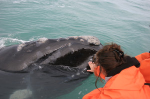 Grootbos lady-patting-whale