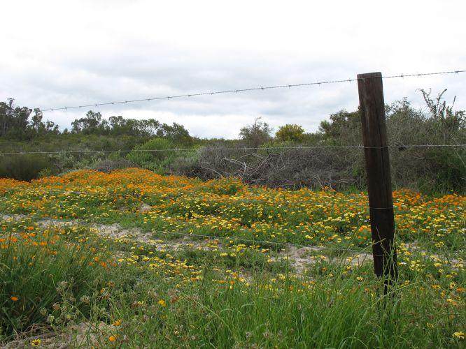 Spring flowers Cape West Coast