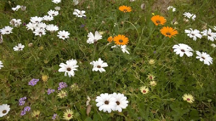 West Coast flowers in the Hopefield / Velddrif area