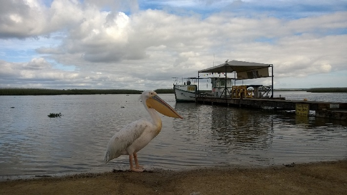 Pelican at Velddrif on the Cape West Coast