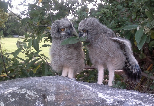 Spotted Eagle Owls breeding in Kirstenbosch