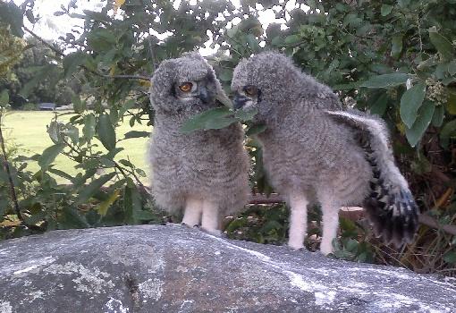 Spotted Eagle Owls breeding in Kirstenbosch