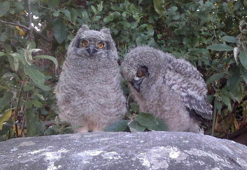 Spotted Eagle Owls breeding at Kirstenbosch