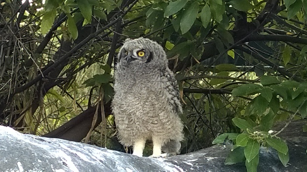 Spotted Eagle Owls breeding at Kirstenbosch