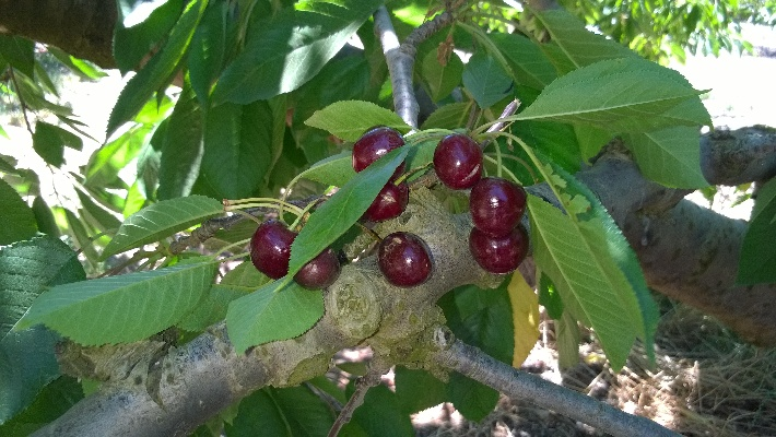 My Cherie Amour … Cherry Picking on Klondyke Farm near Ceres