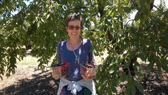 Cherry picking at Klondyke Farm near Ceres