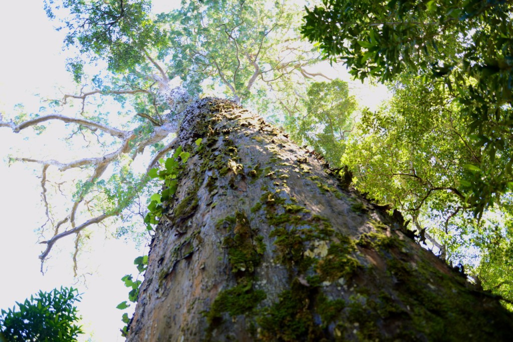 Big Tree Tsitsikamma Garden Route South Africa