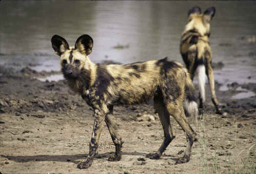 Wild dog sightings on safari in South Africa