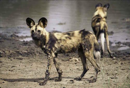Wild dog sightings on safari in South Africa