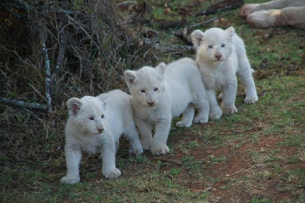 White lion sightings on South African safaris