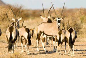 Tutwa Desert Lodge offers a luxury wildlife safari in the Kalahari Desert Northern Cape