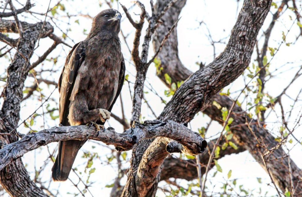birding safari Kings Camp Timbavati