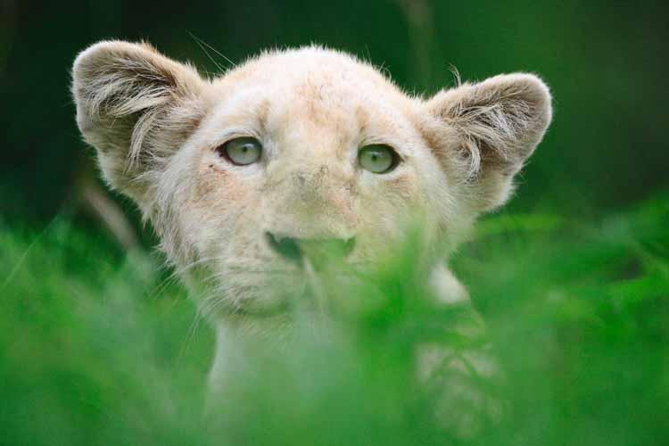 white lions of Timbavati