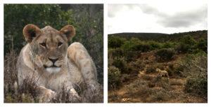 lions return to samara private game reserve eastern cape south africa