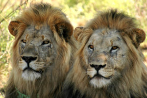reintroduction of lions samara private game reserve eastern cape