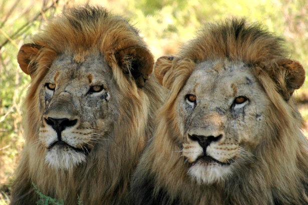 Lions to Return to Samara: A Triumph for Conservation