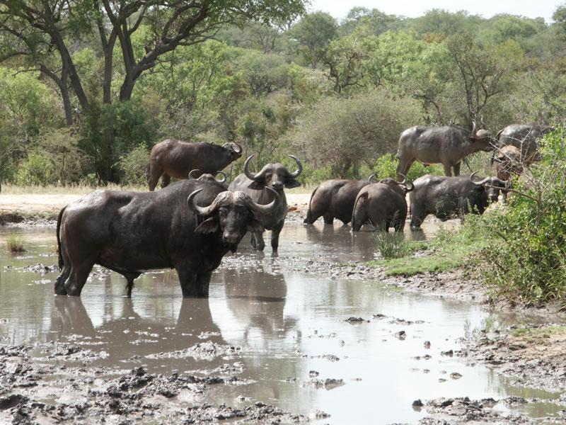 thornybush game reserve big five wildlife safari south africa